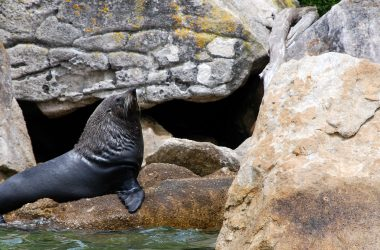 New Zealand Fur Seals - Abel Tasman Aqua Taxi